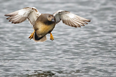 Gadwall (Anas strepera) male landing (Richard Nicoll) Tags: uk male water fly flying suffolk flight landing swt lackfordlakes gadwall anasstrepera lackford suffolkwildlifetrust lackfordlakesreserve