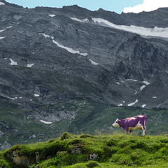 Discover the Milka cow in the isolated mountain world of Zillertal (Bn) Tags: holiday mountains farmhouse geotagged bavaria milk topf50 do purple lilac they thealps gletscher milka tux topf100 zillertal hintertux alpinemeadows discover exist purplecow outdoordining alpinemeadow 100faves 50faves purplecows hintertuxer milkacow jennermountain geo:lon=11673532 alpinemilk milkacows alpinemilkandkakao thebavarianalps montbliardcow bellaroundtheneck lilaccoloredmontbliardcow geo:lat=47095049