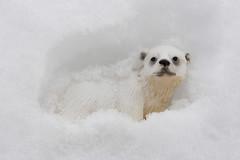 Pfff! That's not even a real polar bear!! (Le Chibouki frustr) Tags: winter white snow 20d canon toy canon20d hiver canoneos20d polarbear neige figurine whiteonwhite lupinlevorace tamron18270mm tamron18270mmf3563 lechiboukifrustr tamronaf18270mmf3563diiivcldasphericalmacro