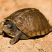 Baby Three-toed Box Turtle