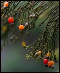 Exocarpos cupressiformis - Native Cherry (Bill Higham) Tags: red orange plant tree fruit native australia tasmania shrub santalaceae exocarpos waterworksreserve exocarposcupressiformis