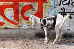 I like goats in sweaters. (Boots in the Oven) Tags: travel india cold up animal sweater asia clothed goat varanasi herd rtw ganges roundtheworld benares southasia uttarpradesh