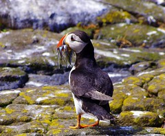Puffin on the Isle of May. (eric robb niven) Tags: scotland sand pentax may forth puffin isle eels anstruther kx isleofmay firthof mygearandme