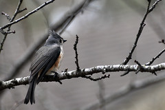Just Hangin' Out (fromky) Tags: bird backyard feather tuftedtitmouse dsc8393 scavenger7