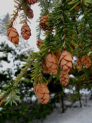 Eastern Hemlock Cones (Maureclaire) Tags: winter snow macro tree ma cone january evergreen pineneedles pinecone needles hemlock coniferous conifer westernma canadianhemlock easternhemlock tsugacanadensis turnersfallsma prucheducanada