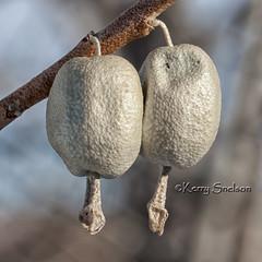 24/366 - January 24, 2012 - Silver Berry (Keeperofthezoo) Tags: canada macro calgary nature closeup berries ab alberta silverberry whiteberries wolfwillow project366 elaeagnuscommutata canonxsi americansilverberry