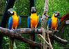 Economistas / Economists (Claudio.Ar) Tags: naturaleza color bird nature argentina animal topf50 buenosaires sony parrot ave dsc papagayo araararauna h9 blueandyellowmacaw temaiken psittacidae claudioar claudiomufarrege papagayoazulyamarillo