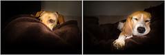 Nap time (melekzek) Tags: sleeping max beagle dogs puppy maya chiweenie 16mmf28 sonynexc3
