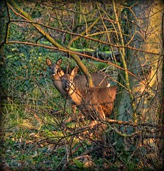 Hello deer! (JHHALL2010.) Tags: uk trees wild england green nature animals countryside woods wildlife deer roedeer brockholes twitter