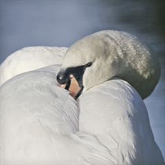 nestled in a feather pillow (Black Cat Photos) Tags: uk england bird nature canon blackcat snuggle photography photo cozy swan europe soft sleep wildlife yorkshire feather m pillow fountainsabbey snug comfy muteswan nestled studley blackcatphotos