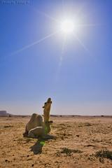 I have new baby - Explore (TARIQ-M) Tags: sun tree landscape desert camel شمس camels riyadh saudiarabia بر الصحراء جمال canoneos5d الرياض سماء صحراء اشعة جمل ابل كانون نياق المملكةالعربيةالسعودية ناقة صحاري ef1635mmf28liiusm canoneos5dmarkii حاشي براري اشعةالشمس