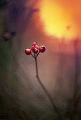 33/366 Rosehip Berries (Nada*) Tags: winter light sunset red orange sun cold color colour nature oneaday sunshine yellow fruit project healthy berries ely wildrose 365 hue rosehip hagebutte 366 escaramujo pky