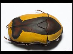 Pachnoda ephippiata (Mashku) Tags: nature beetle insects beetles coleoptera scarabeidae pachnoda cetoniidae cetoniini cetoniine