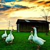Goose Bumps (aremac) Tags: goose agriculture gettygermanyq4