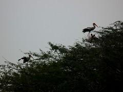 PaintedStorksNestingInTree (d_puri) Tags: painted delhi february stork 2012 sultanpur