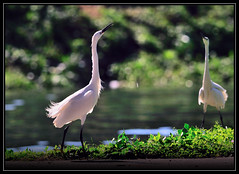 F_DSC_4827-一 對-A pair-小白鷺-Egretta garzetta-Little Egret-羽-Feather-翼-Wings-鳥-Bird-散景-Bokeh-外雙溪-Waishuangxi-士林-Shilin-台北市-Taipei City-台灣-Taiwan-中華民國-Rep of China-Nikon D90-Nikkor 300mm-TC-14E II (May-margy) Tags: bird wings bokeh feather taiwan 台灣 shilin taipeicity 鳥 台北市 士林 littleegret 外雙溪 egrettagarzetta tc14eii 一 小白鷺 apair 中華民國 羽 對 翼 nikkor300mm nikond90 散景 repofchina waishuangxi maymargy 廖藹淳