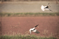 Gone with the wind.. (*iris-hues*) Tags: woman india canon photographer pair inthefields gonewiththewind blownaway eos7d glasslighthues gettyimagesindiaq3 gettyimagesindiaq4 artforwall glhartdecor whitetailedlapwings