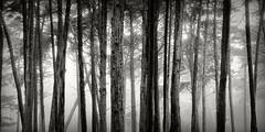 (RevellRay) Tags: sanfrancisco fog cypress presidio wordless