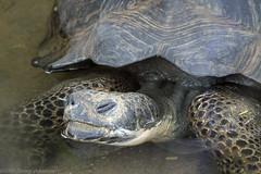 Galapogos tortoise (tommyajohansson) Tags: london geotagged zoo tortoise tiergarten regentspark londonzoo faved skldpadda djurpark zsl giantgalapagostortoise tommyajohansson jtteskldpadda