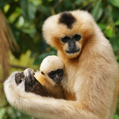 It's a girl! (rogersmithpix) Tags: monkeys gibbon babymonkey adelaidezoo whitecheekedgibbon criticallyendangeredwildlife