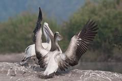 3685-pelicans (AJAY.K.SHAH2011) Tags: freedomtosoarlevel1birdphotosonly