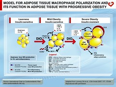 Model for adipose tissue macrophage polarization and its function in adipose tissue with progressive obesity (My Healthy Waist) Tags: inflammation insulinresistance adiposetissue