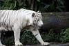 IMG_2389 (Marc Aurel) Tags: zoo singapore tiger tigre singapur whitetiger zoologischergarten singaporezoo weddingtrip hochzeitsreise bengaltiger pantheratigris zoologicalgarden königstiger pantheratigristigris royalbengaltiger pantheratigrisbengalensis weisertiger 5dmarkii eos5dmarkii indischertiger tigrebiancha
