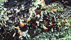 Cladonia floerkeana (Tony Markham) Tags: red lookout lichen illawarra fruitingbody cladoniafloerkeana fruticoselichen sublimepointlookout illawarraescarpment tonymarkham abcopen:project=upclose woodwardtrack