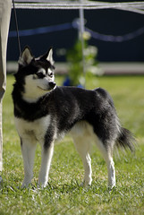 Cruiser (Alexandra Kimbrough) Tags: show california dog miniature husky mini kai nordic claremont northern klee alaskan ukc conformation akk