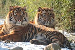 Tijgers in de sneeuw (K.Verhulst) Tags: tijgers tigers rotterdamzoo rotterdam blijdorpzoo blijdorp cats zoo tiger tijger sumatrantiger sumatraansetijger diergaardeblijdorp nl kat cat