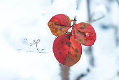A little frozen heart. (neera*) Tags: ice gelo frost neve redleaves ghiaccio explored foglierosse