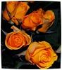 "Buona Pasqua ! (wallace39 "" mud and glory "") Tags: flowers roses rose fiori rememberthatmomentlevel1 rememberthatmomentlevel2 rememberthatmomentlevel3"