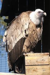 CFR7816 Buitre Leonado (Carlos F1) Tags: barcelona bird animal spain nikon au ave vulture pajaro raptors birdsofprey pjaro buitre leonado griffon rapaz d300 gyps ocell santfeliudecodines voltor rapinyaire