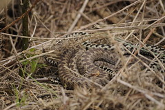 Mating Adders (Vipera berus) (Sky and Yak) Tags: reptile snake scales heath dorset serpent viper herp adder venom herpetology vipera berus northernviper