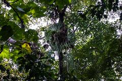 Ferns 4850 (Ursula in Aus) Tags: fern sumatra indonesia unesco bukitlawang gunungleusernationalpark earthasia
