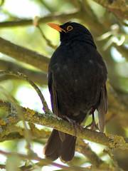 common blackbird, male (kotovod) Tags: bird turdusmerula commonblackbird merlenoir