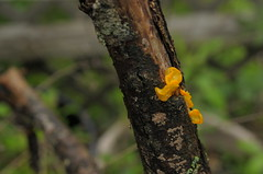 jelly fungus (Marked_man) Tags: life plant tree nature branch fungi fungus lichen biology parasite lifecycle decomposing