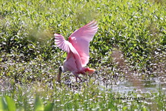 Roseatte Spoonbill (Platalea ajaja) (Gerald (Wayne) Prout) Tags: county usa bird birds bar creek canon way circle florida reserve aves banana trail marsh lakeland animalia wading waterbirds polk prout polkcounty pelecaniformes plataleaajaja chordata threskiornithidae platalea roseattespoonbill canoneos60d circlebbarreserve cityoflakeland wadingbirdwaytrail bananacreekmarsh geraldwayneprout