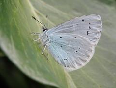 Holly Blue butterflies, London, May 2016 (roger.w800) Tags: urban london fauna butterfly wildlife butterflies naturereserve urbanwildlife eastlondon towerhamlets bluebutterfly hollyblue thcp towerhamletscemeterypark formercemetery parkinacity