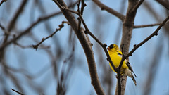 Male American Goldfinch (Chad Horwedel) Tags: tree male bird illinois americangoldfinch bolingbrook maleamericangoldfinch