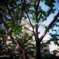 (lemonhats) Tags: green tlr japan mediumformat walking iso100 vintagecamera sakura cherryblossoms manualfocus tooclose springtime 1100 twinlensreflex f35 classiccamera normallens nerimaku filmphotography hikarigaoka fixedlens printfilm shootfilm tokyoto filmisnotdead colornegativefilm ricohflexviis analoguephotography filmisalive kodakektar100 f3580mm filmcommunity legacyphotography fpper believeinfilm kodakforever ricohanastigmat3580