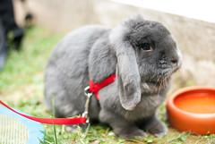 DSC_0088 1 (divi333) Tags: rabbit bunny bunnies ferrara rabbits conigli coniglio 2016 conigliando