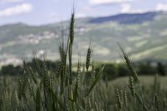 Spighe #2 (AnnaPaola54) Tags: primavera bokeh campagna campo maggio collina grano spighe paessaggio