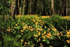 Rentukkamets (kimblenaattori) Tags: flower yellow forest marsh marigold mets caltha kingcup palustris rentukka