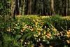 Rentukkametsä (kimblenaattori) Tags: flower yellow forest marsh marigold metsä caltha kingcup palustris rentukka