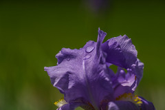 _DSC3462 (Simply Angle) Tags: iris plant flower macro nature water washington colorful sony droplet deerpark a7ii fdmount sonyphotographing sonyphotography canonfd100mmf4macro sonycanon sonya7ii