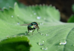 getropfen (Gnter Hickstein) Tags: macro water rain closeup fly drops wasser drop gotas raindrops makro blatt fliege tropfen uelzen frauenmantel gnterhickstein