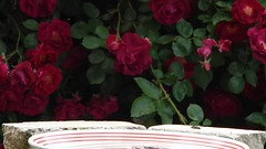 Romance amidst the Roses (starmist1) Tags: roses bird movie fun video bush bath birdbath pair romance entertainment educational rosebush doves entertaining ringneckeddoves