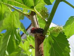 amor amora (denielerezende) Tags: frutas fruit blackberry fruta amora morera pdeamora