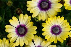 Flourishing (Mukumbura) Tags: yellow daisy osteospermum flowers petals purple buds africandaisy capedaisy garden gettyimages